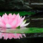 significado de flor de loto